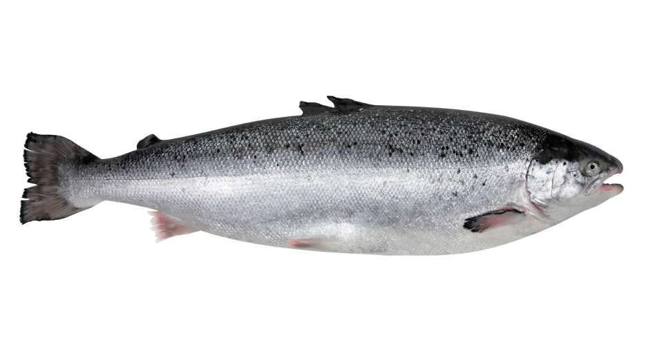 Facts and Information Need to Know About North Atlantic Salmon.